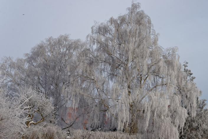 Birke im Eismantel breit 13
