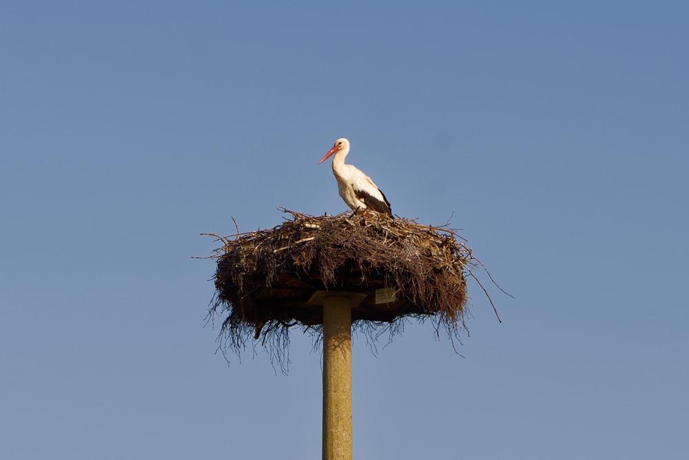 Frau Storch bewacht das Nest!