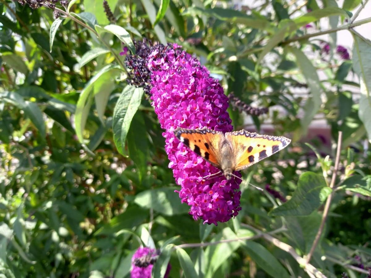 Schmetterlingsmahl 91
